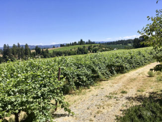 A view of the Sierra Foothills, trees and grapevines on a sunny day.